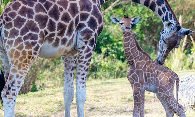 Same dad, two babies: Zoo Miami presents newborn giraffes