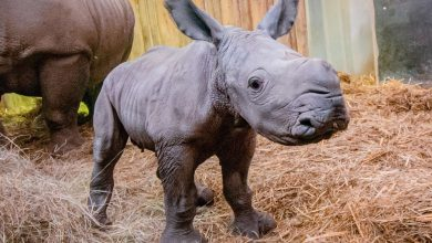 Dutch zoo witnessed the birth of a rhino
