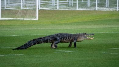 Gator crashes Toronto FC training session in Florida