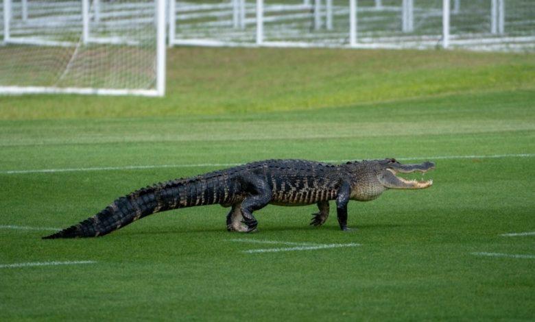 Gator crashes Toronto FC training session in Florida