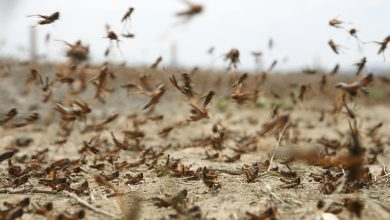 Jordanian Air Force helps combat locust swarms