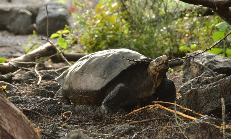 Galápagos tortoise found alive from species thought to be extinct
