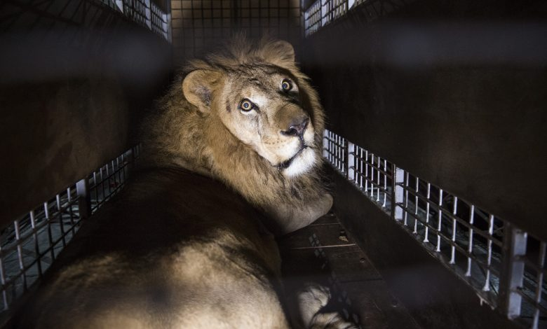 QA Cargo returns seven rescued lions to natural habitat for free