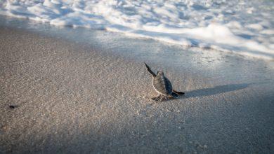 QU centre begins annual monitoring of rare sea turtle nesting