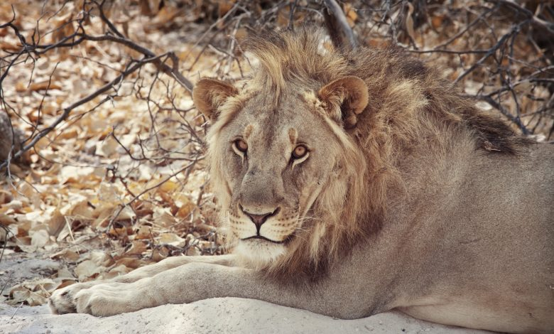 Somaliland authorities shoot lion dead after evening on the loose