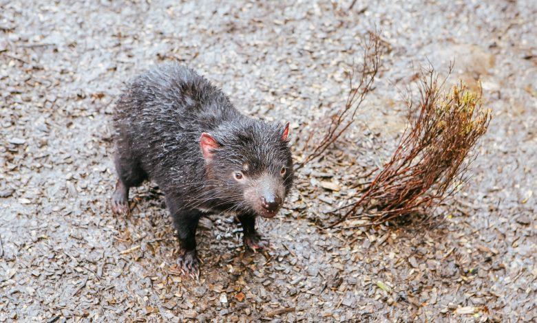 Tasmanian devils born on Australian mainland in rewilding push