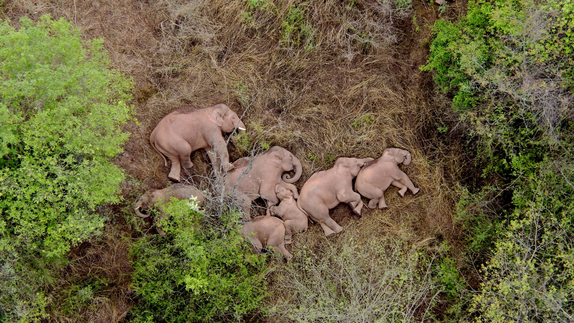 Elephants roaming in Chinese cities and provinces