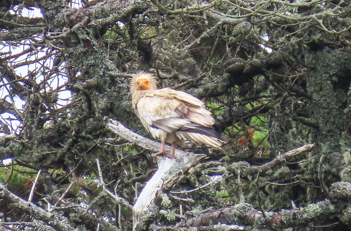 Rare vulture not seen in Britain for over 150 years spotted on Isles of Scilly