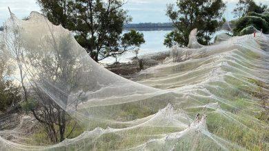 Spider webs cause panic in Australia