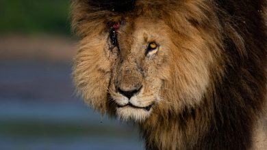 Scarface, one of the most famous lions in the world, dies