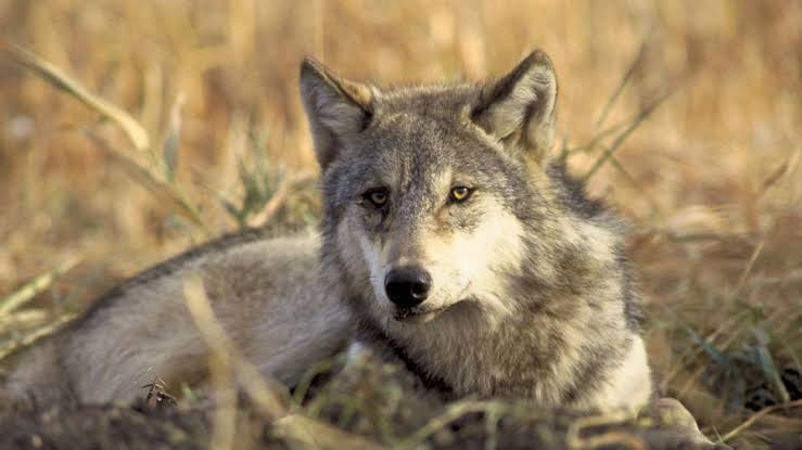 First Wolf Litter in 80 Years Born in Colorado
