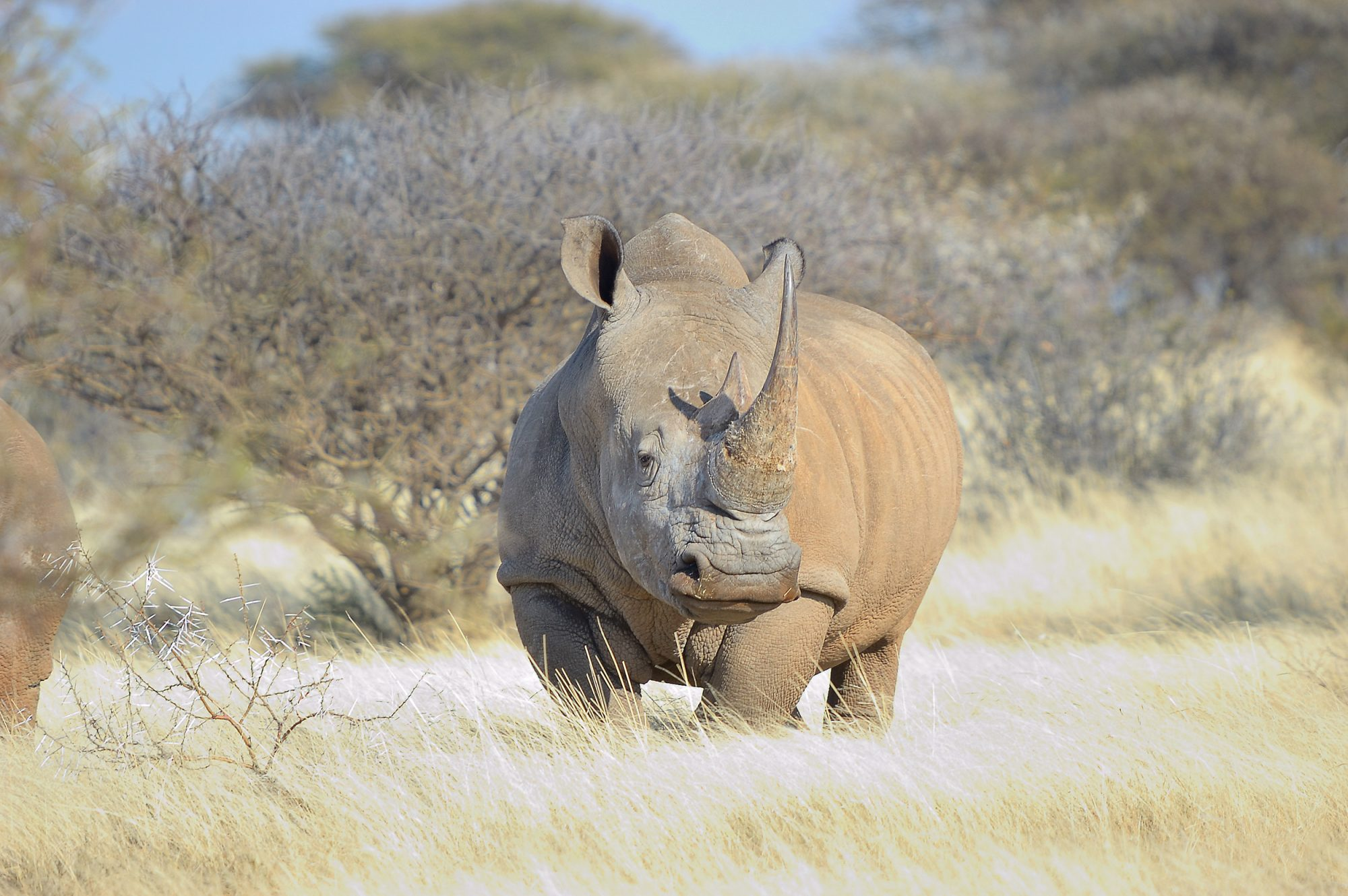 Has rhino gone extinct after 55 million years on Earth?