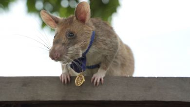 Mine-sniffing rat Magawa ends years of hard work in Cambodia
