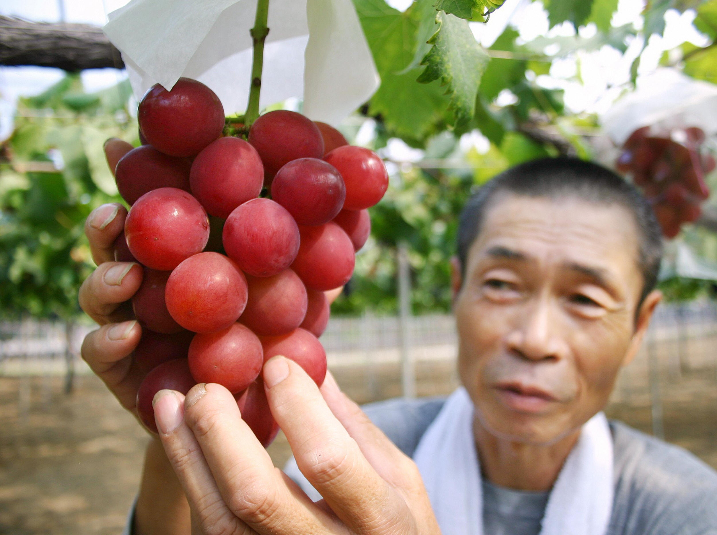 Bunch of Japan grapes fetches $12,700