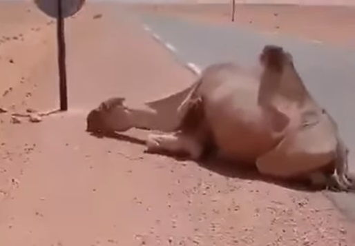 Algerian saves camel from death at 50°C