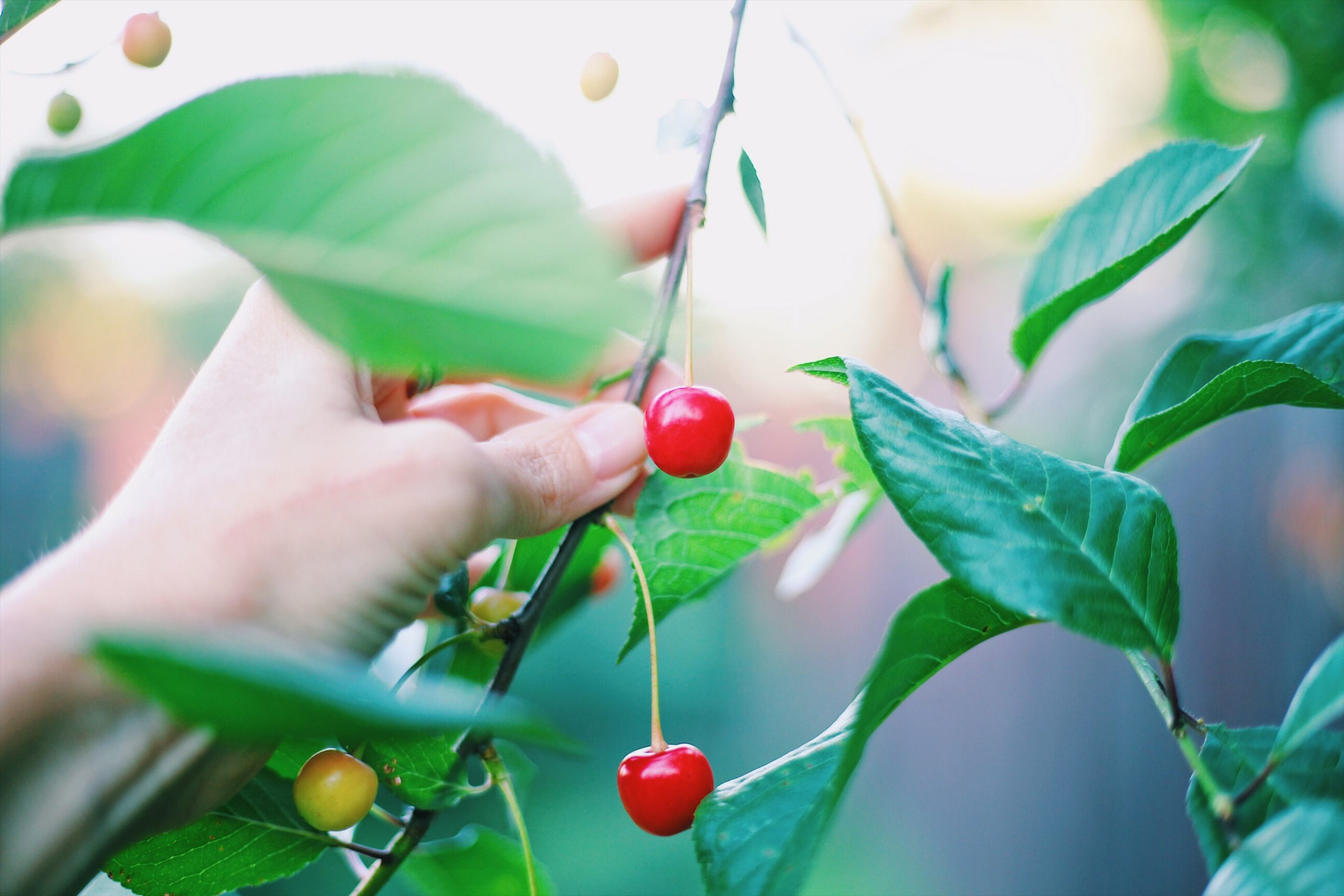 Helps you sleep and increases your immunity: The Fruit that competes with sleeping pills!