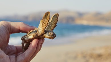 300 baby turtles rescued in cooperation with citizens