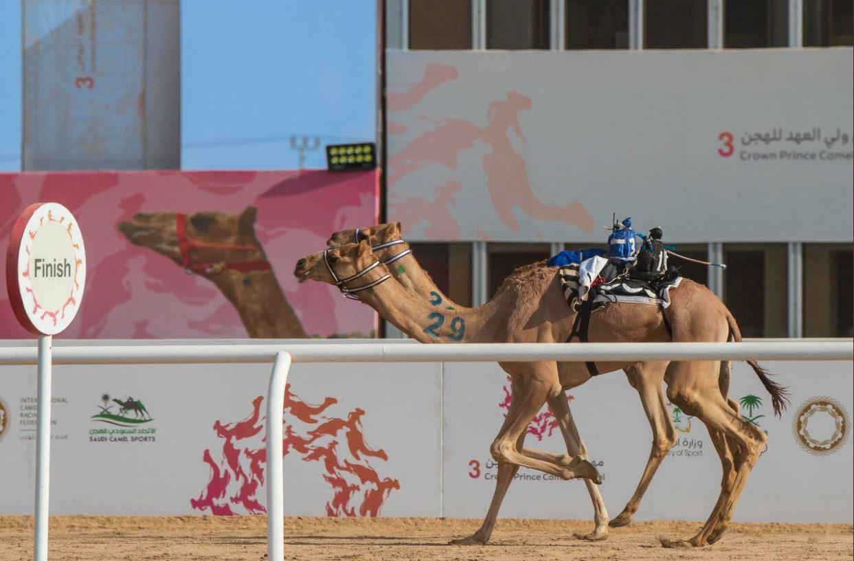 Qatari Camels Excel in Saudi Crown Prince Camel Festival