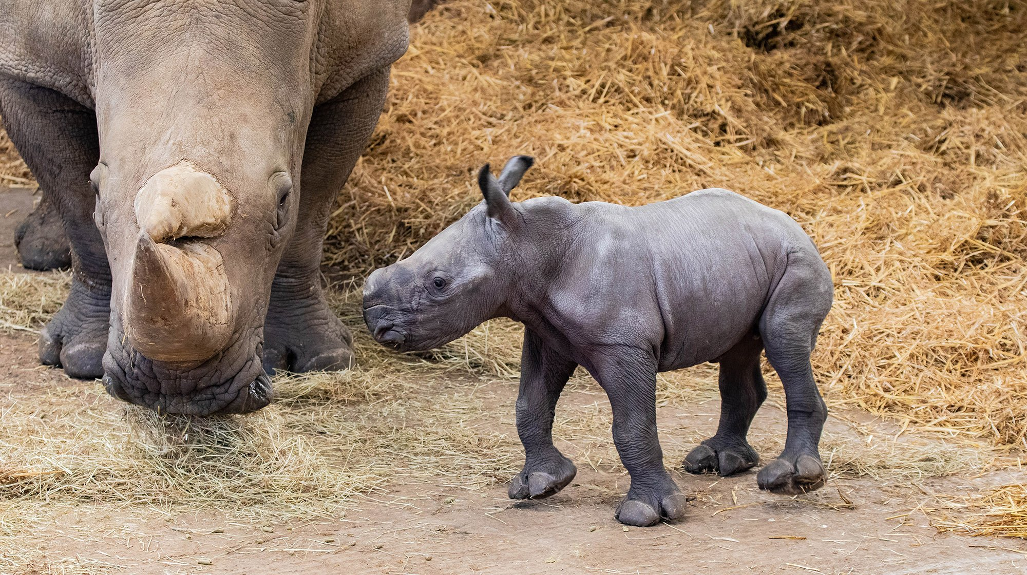 Whipsnade Zoo has welcomed a new rare white rhino!