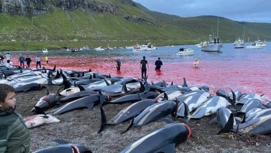 Anger over killing of 1,400 dolphins in one day