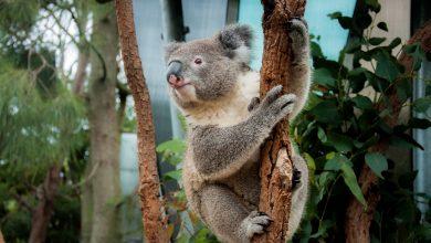 Australia has lost 30% of its koalas