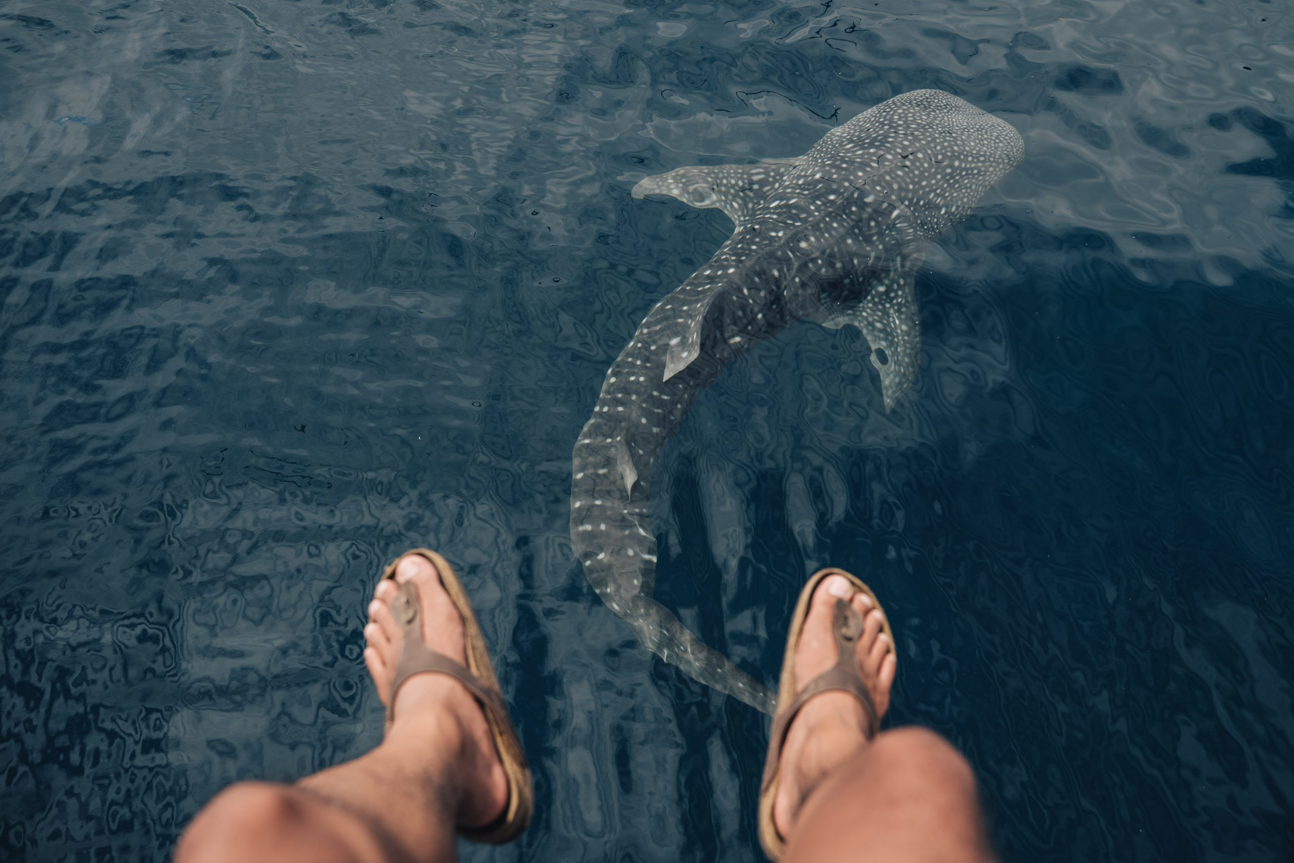 Stunning footage of the world's largest endangered whale shark migrations off the Qatari coast